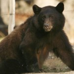 If bears killed 1 in 5 people